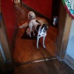 Notice the Afghan Hound taking her half out of the middle. What do you think the Whippets are thinking?